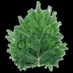 Branches de Sapins NORDMANN pour couronnes et décoration - Grandes (60-80cm)