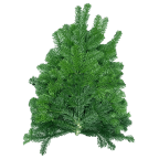 Branches de Sapins NORDMANN pour couronnes et décoration - Lot de 10