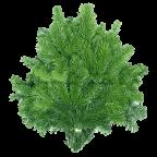 Branches de Sapins NORDMANN pour couronnes et décoration - Lot de 4
