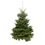 Sapin naturel Nordmann - grand