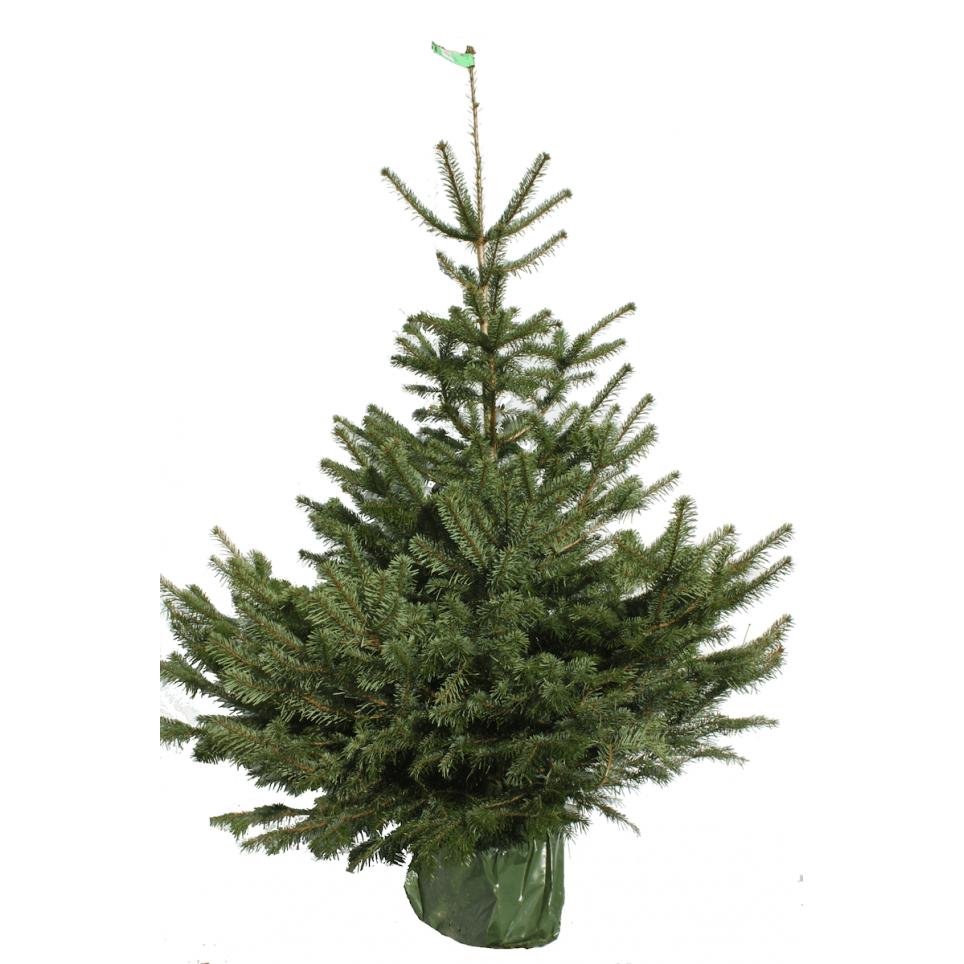 Sapin de Noël naturel NORDMANN en pots - 1M50/1M75