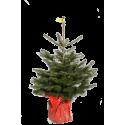 Sapin de Noël naturel NORDMANN en pot