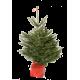 Sapin de Noël naturel NORDMANN en pots - 1M25/1M50