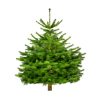 Sapin naturel Nordmann BIO (Origine France)